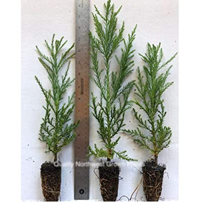 "3 Giant Sequoia Trees California Redwood Potted 10""- 16"" Inch Tall Seedlings : Garden & Outdoor"