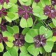 Oxalis Iron Cross (Good Luck Plant) - 15 robust bulbs - 4/5 cm