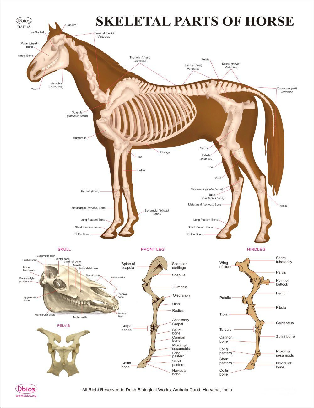 Amazon Dbios Educational Digital Printed Skeletal Parts Of