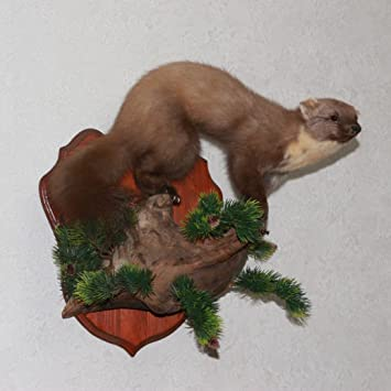 Amazon Com Pine Marten Taxidermy Mount Fisher Taxidermied
