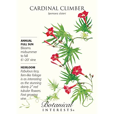 Cardinal Climber Vine Seed - 1.5 Grams - Ipomoea : Flowering Plants : Garden & Outdoor
