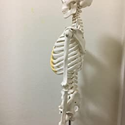 Amazon Co Jp カスタマーレビュー 人体骨格模型 直立 スタンド 付 高精度 85cm 1 2モデル 1 4516
