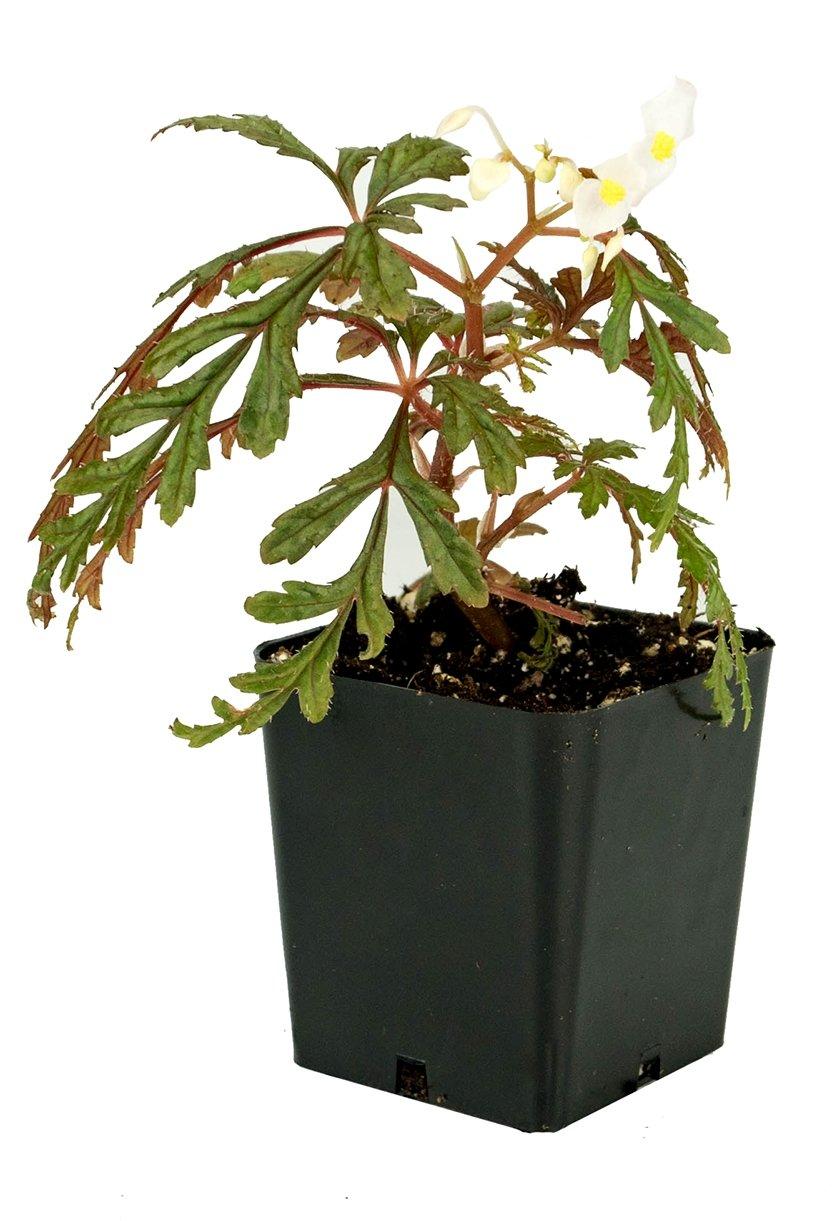 Begonia polilloensis