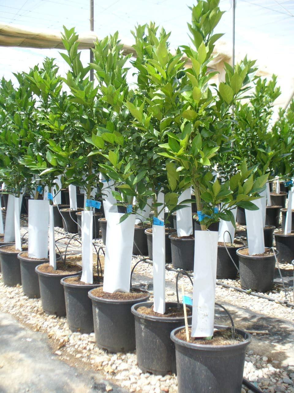 Naranjo, árbol de varios años, aprox. 150-160 cm: Amazon.es: Jardín