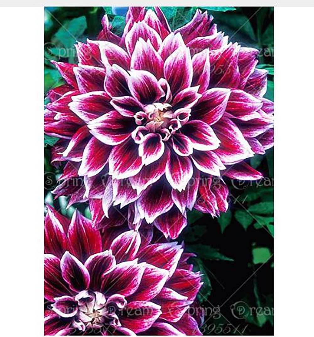 Yongyut 2bulbs true dahlia bulbsflowers dahlianot dahlia seeds yongyut 2bulbs true dahlia bulbsflowers dahlianot dahlia seedsnational izmirmasajfo