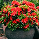 1 X RED AZALEA JAPANESE EVERGREEN SHRUB HARDY GARDEN PLANT IN POT