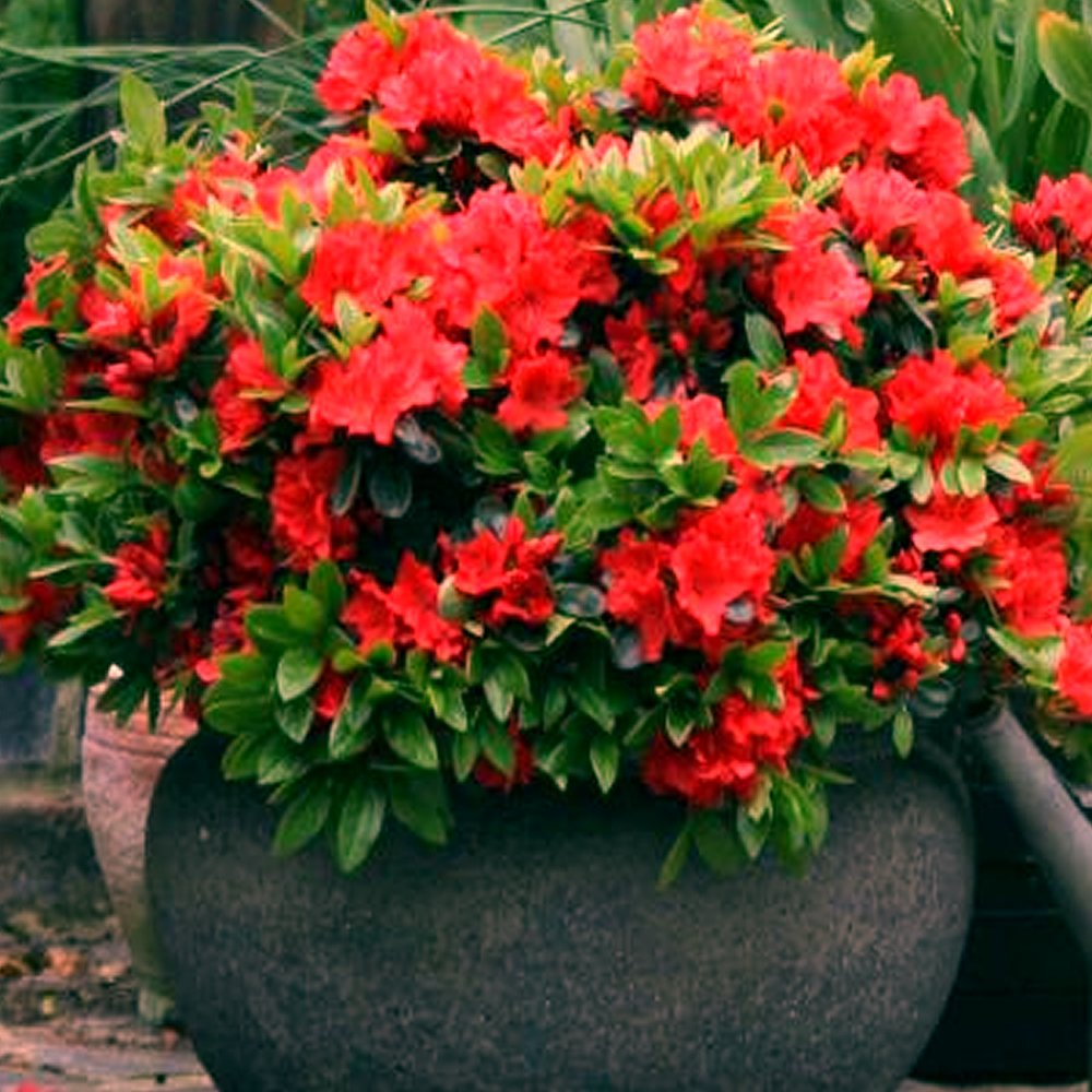 3 X RED AZALEA JAPANESE EVERGREEN SHRUB HARDY GARDEN PLANT IN POT Gardener's Dream
