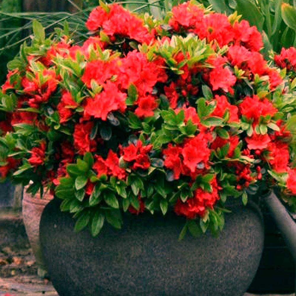 1 X RED AZALEA JAPANESE EVERGREEN SHRUB HARDY GARDEN PLANT IN POT Gardener's Dream