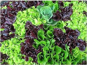 David's Garden Seeds Lettuce Mix Mesclun 3223 (Green) 500 Non-GMO, Heirloom Seeds