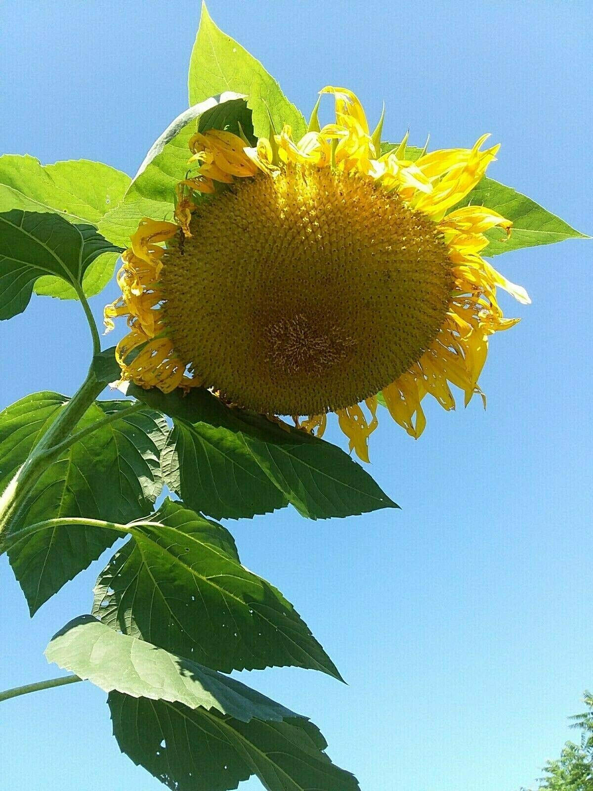 Titan Sunflower Seeds