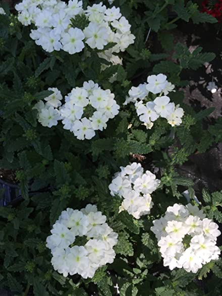 Amazon 5 verbena estrella white vervain perennial 5quot verbena quotestrella white quot vervain perennial elegant mightylinksfo