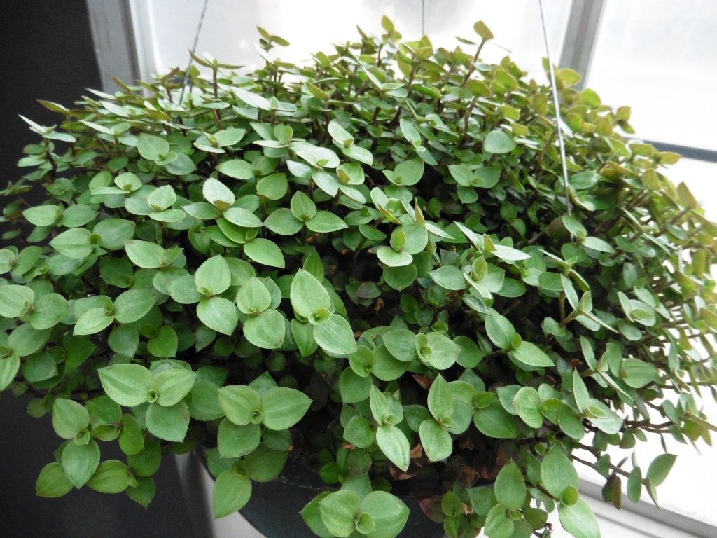 Picture of Live Bolivian Jew aka Callisia repens Foliage Hanging Plant Fit 5GAL Pot