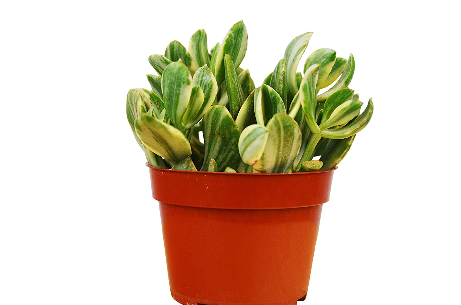 Amazon.com: Crassula Ovata Variegated Jade Succulent / 4 ...