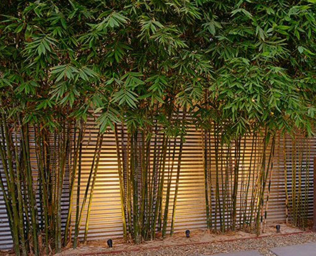 Graceful Bamboo - Slender Weavers - Textilis Gracilis - Live Plant - Fast Growing Evergreen Privacy Hedge by Florida Foliage (Image #7)