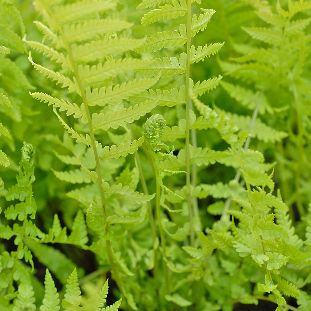 Outdoor Perennial Plant Shade Loving Potted Fern for Borders & Woodland Gardens 1 x Shuttlecock Fern in 9cm Pot by Thompson & Morgan