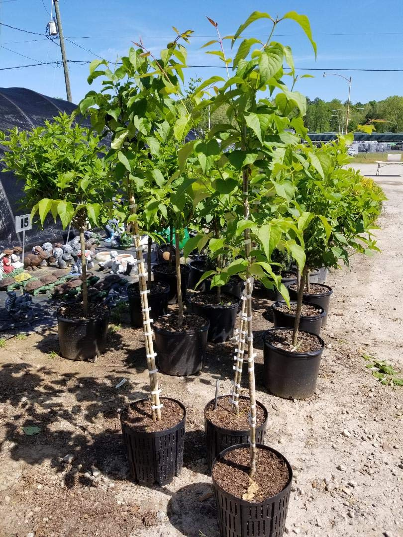 Ivory Silk Japanese Lilac Tree - Live Plant - 4-5 ft Tall