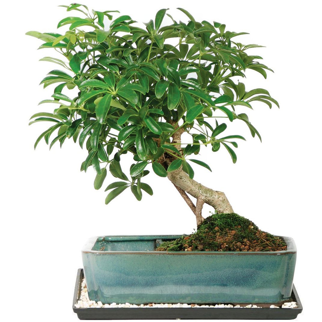 Amazon Com Dallas Bonsai Garden S Dwarf Hawaiian Umbrella Tree In Water Pot Indoor Zhu3 Grocery Gourmet Food