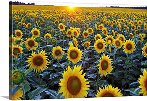 Field of Sunflowers Canvas Wall Art Print
