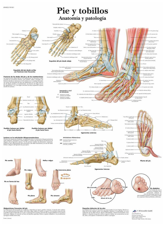 3B Scientific Papier bedruckt, Fuß und Knöchel, Anatomie und ...