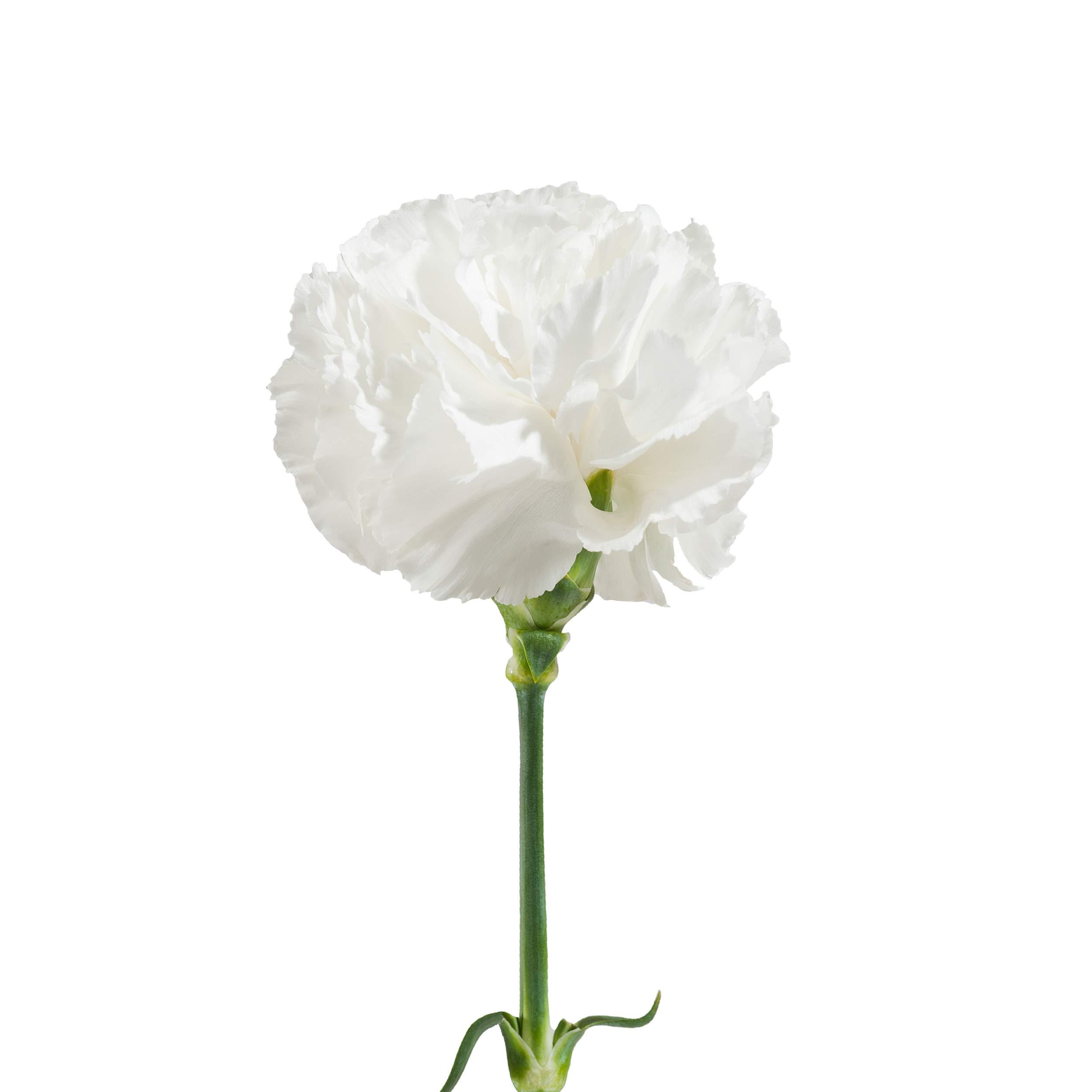Farm Fresh Natural White Carnation - 100 Stems