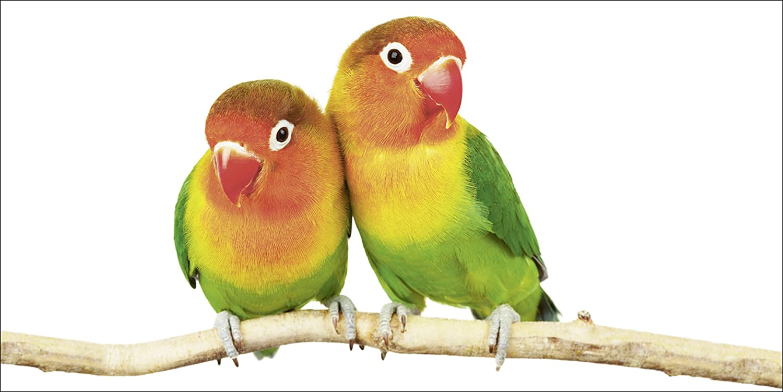Papageien Artland Qualit/ätsbilder I Glasbilder Deko Glas Bilder 20 x 20 cm Tiere V/ögel Foto Bunt D1JF Paar von Grauk/öpfchen