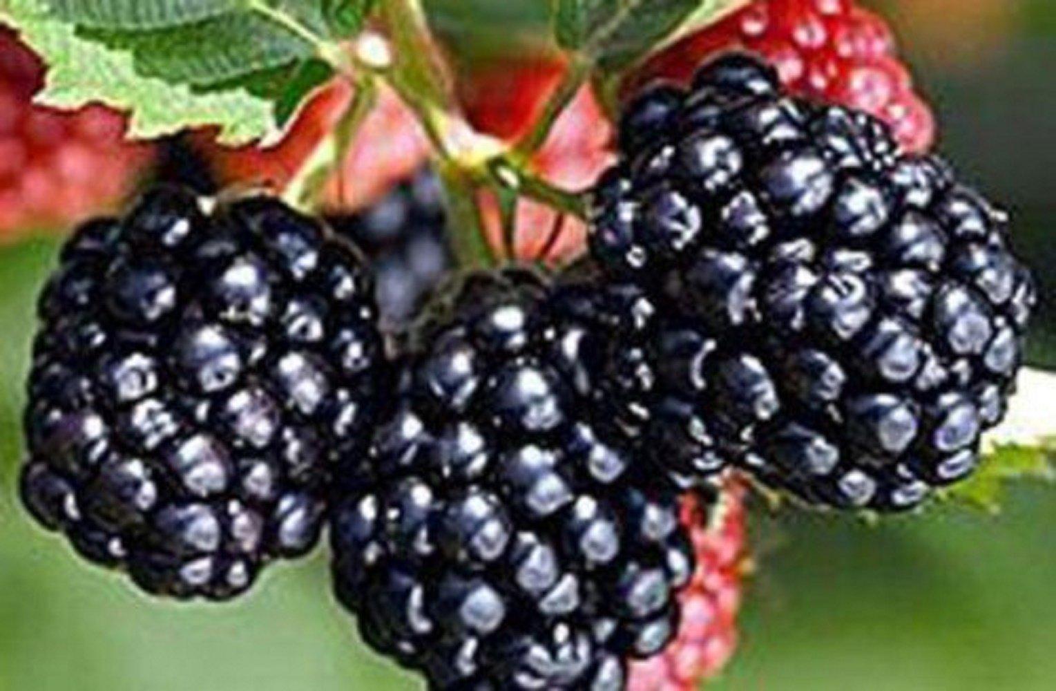 Blackberry Triple Crown - Fruit Garden Thornless Bare Root Plant - 3 plants