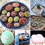 Decdeal Lithops Pseudotruncatella Sementes Dasktop Plantas Verdes Raras Em Vasos De Pedra Suculentas Sementes De Mistura