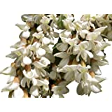 Robinie (Robinia pseudoacacia) 20 Samen (Winterhart) Auch Bonsai geeignet<