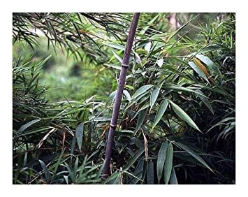 Chimonobambusa Yunnanensis Schwarzer Bambus Winterhart 8 Samen