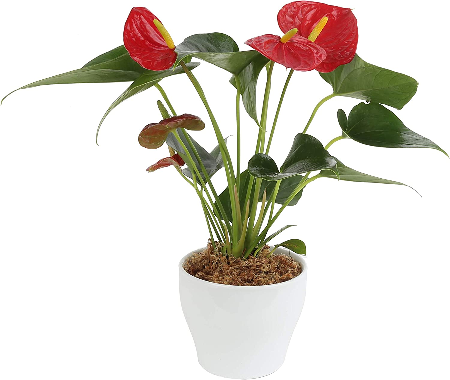 Costa Farms Blooming Anthurium Live Indoor Plant 12 to 14-Inches Tall, Ships in White Ceramic Planter, Gift, Fresh From Our Farm or Home Décor
