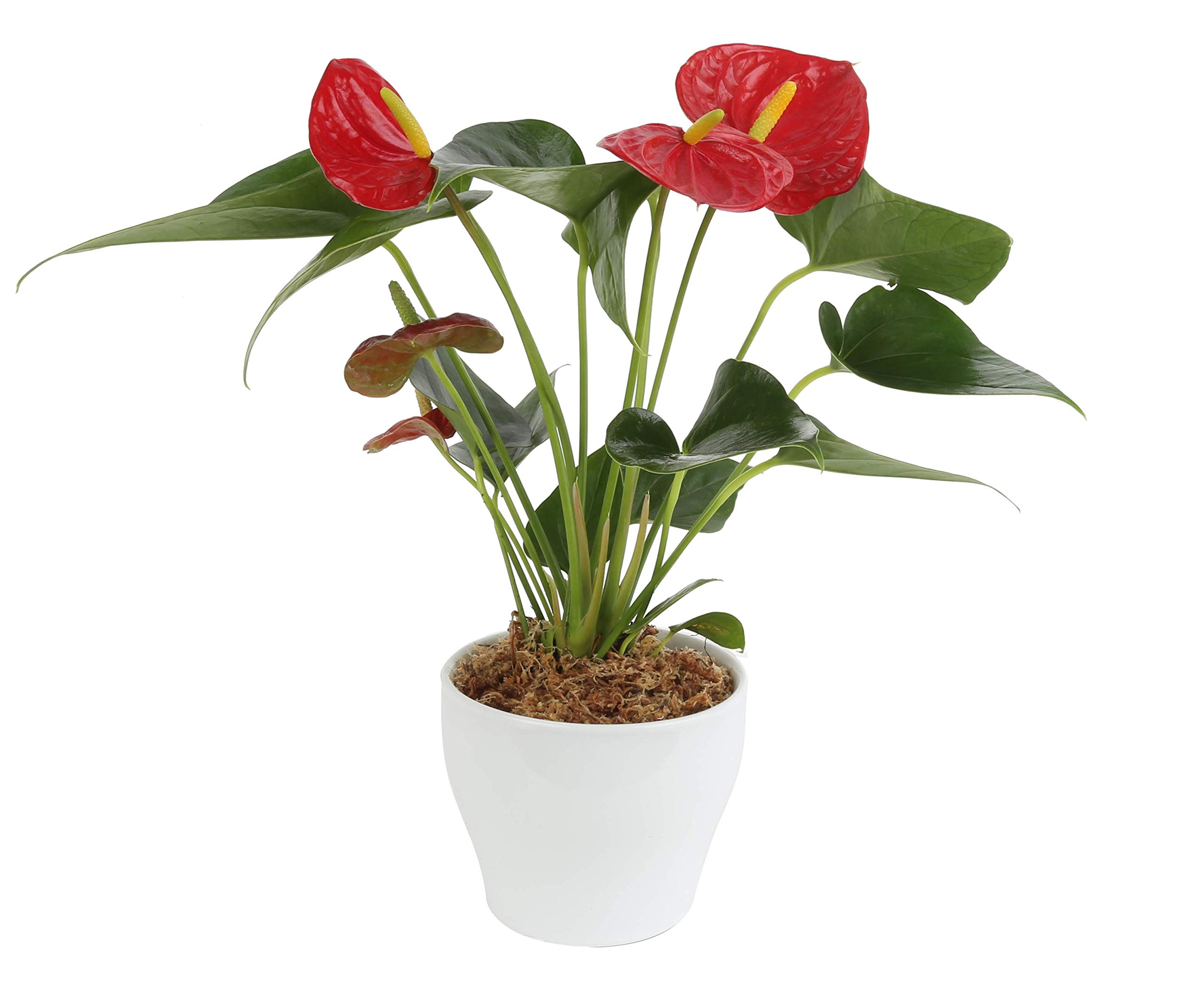 Costa Farms Blooming Anthurium, Live Indoor Plant, 12 to 14-Inches Tall, Ships in White Ceramic Planter, Great Gift, Fresh From Our Farm or Home Décor by Costa Farms