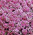 Seeds Pink Sweet Alyssum Rozi O Dei (Lobularia maritima) Organic Flowers
