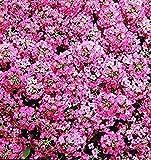 NIKITOVKASeeds - Sweet Alyssum Rozi O Dei - 1000 Seeds - Organically Grown - NON GMO