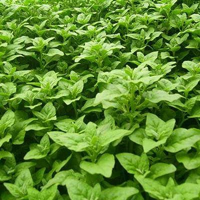 Bravet New Zealand Spinach Seeds Tetragonia Tetragonioides Vegetables Garden Plants Vegetables : Garden & Outdoor