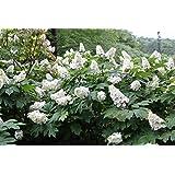 """Alice Oakleaf Hydrangea White Blooms 4/"""" pot"""
