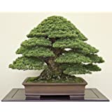 National Gardens Japanese Black Pine Seeds (Multicolour, Pack of 5)