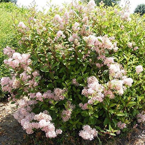 C/éanothe caduque rose Lilas de Californie Ceanothus pallidus Marie Simon