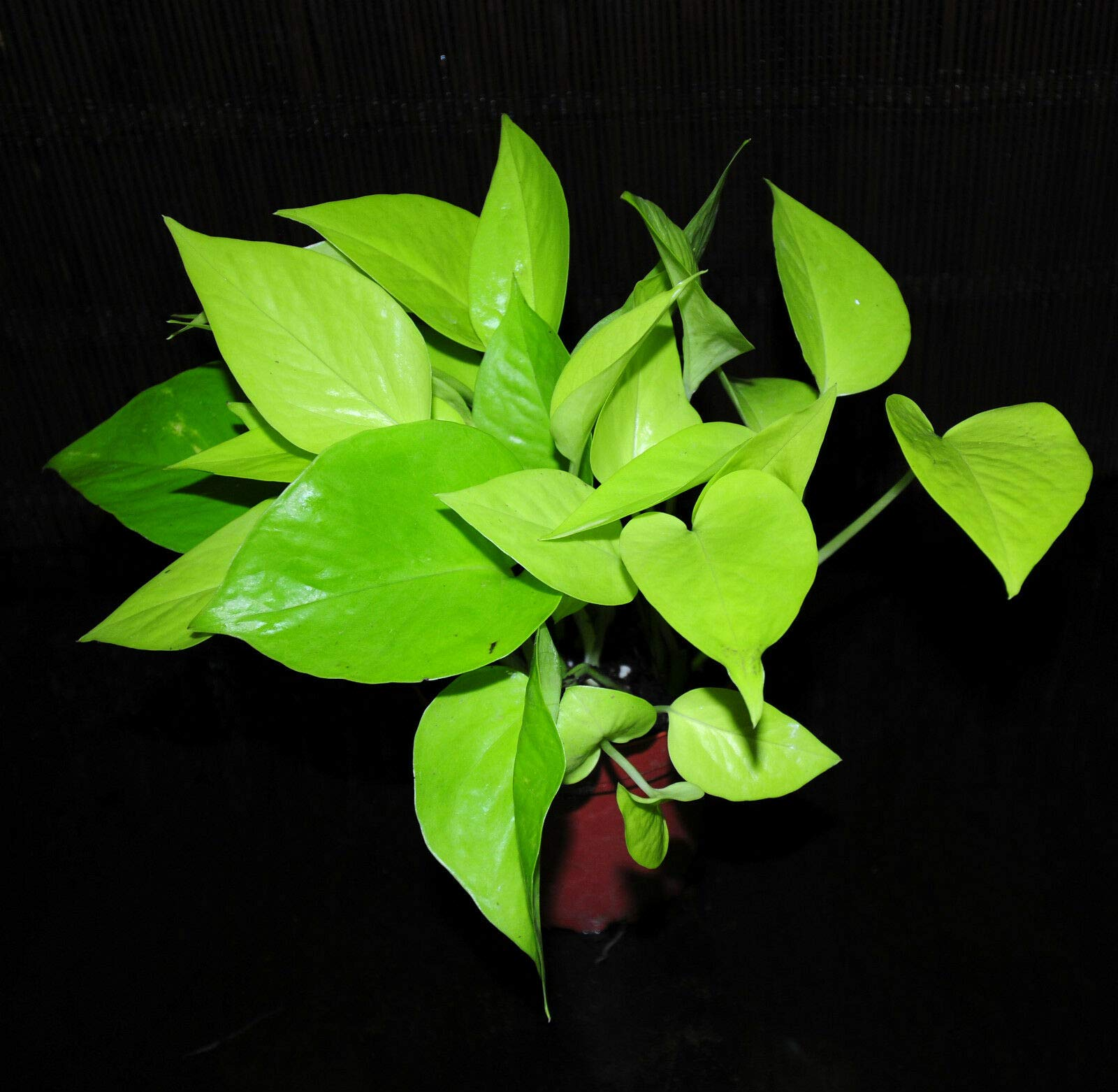 New Item 2~Neon Pothos 4'' Pot Epipremnum aureum Neon Beautiful Chartreuse Leaves (Premium Quality) by AY-Premium