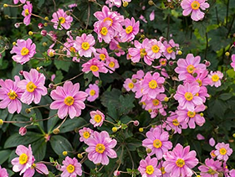 Thalictrum delavayi Chinese meadow rue 9cm pot Please Read Description /& T/&Cs
