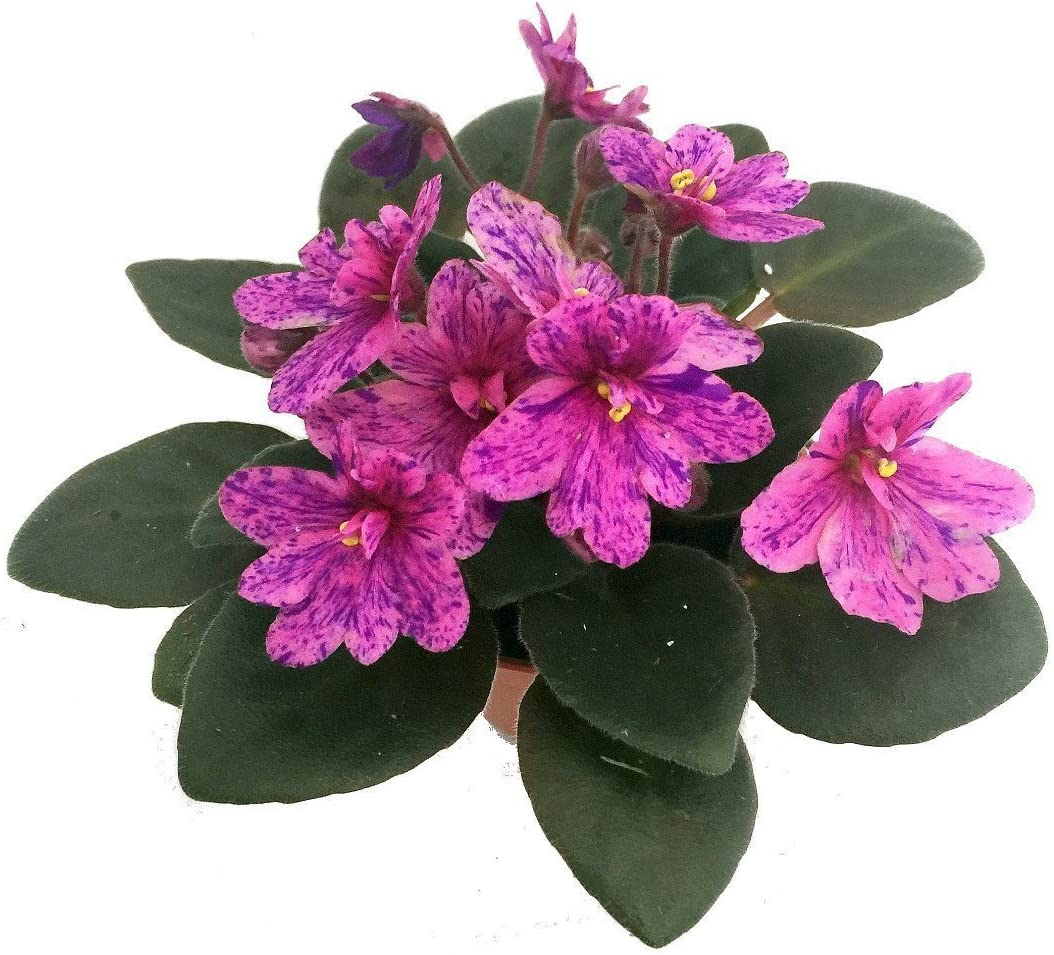 African violet Frozen in Time live plant in pot