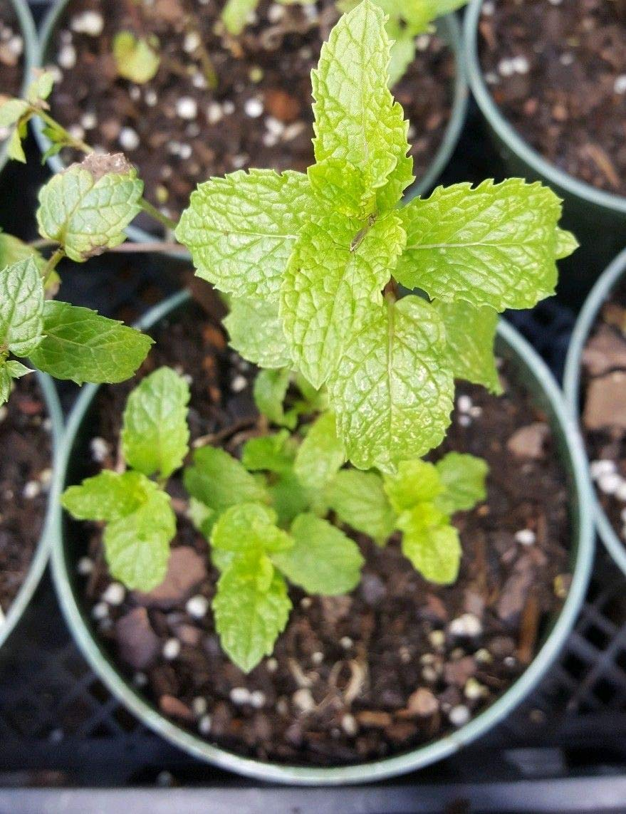 3 Mojito Mint Live Plants 4''-6'' Tall in 4 inches Pot