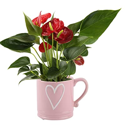 Costa Farms Live Anthurium Indoor Plant in Premium Ceramic Flower Pick, 12 Inches Tall, Mother's Day Gift : Garden & Outdoor