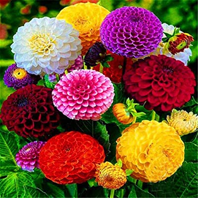 Dahlia Seeds, Zinnia Fower Seeds, Hybrid Chinese Flowers High Germination Plant for Home & Garden-Easy to Grow : Garden & Outdoor