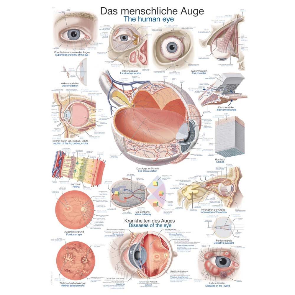 Tolle Auge Anatomie Poster Galerie - Menschliche Anatomie Bilder ...