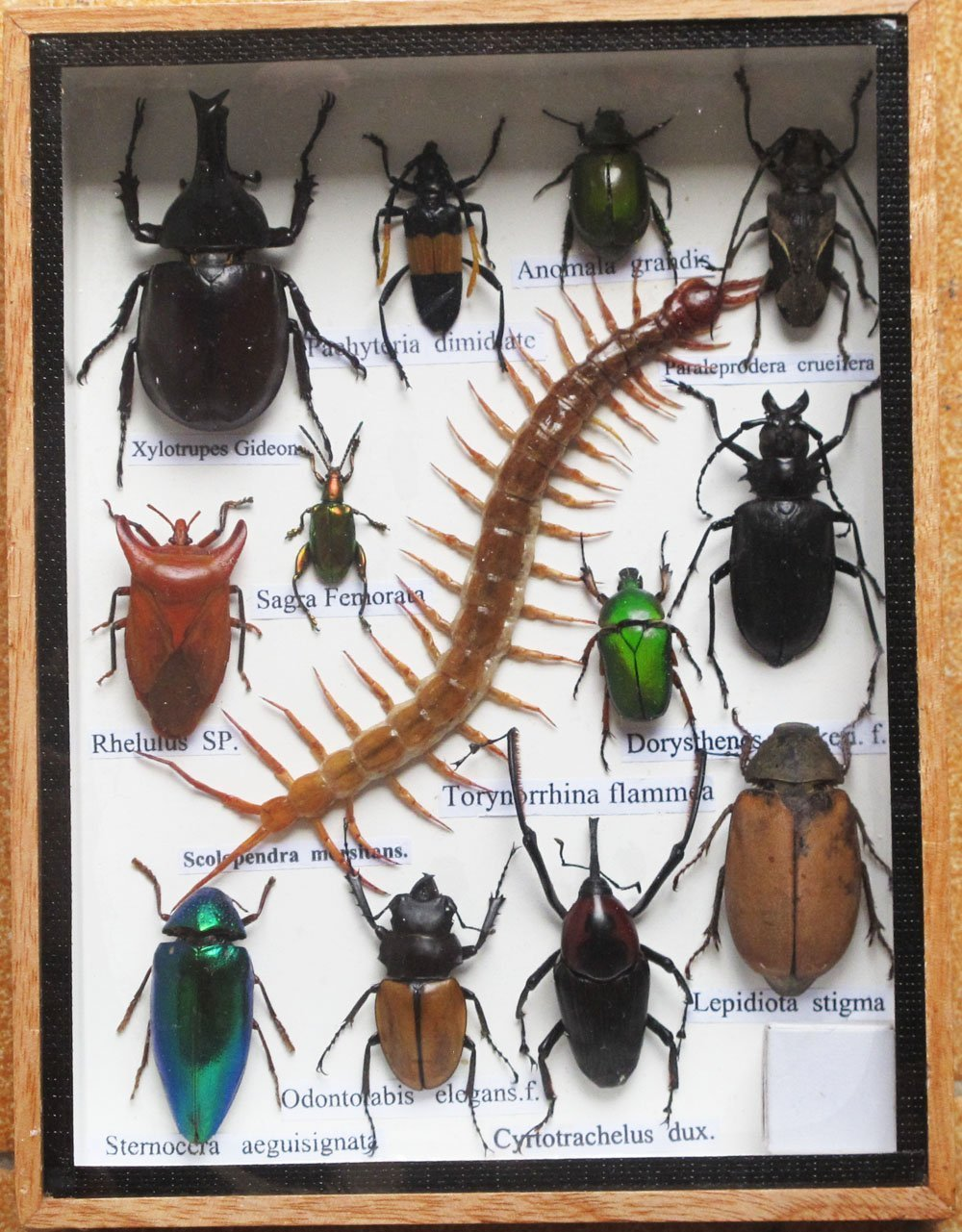 B00S2VPFFE REAL CENTIPEDE AND MIXS RARE INSECT TAXIDERMY SET IN BOXES DISPLAY FOR COLLECTIBLES 71FnmMLJguL