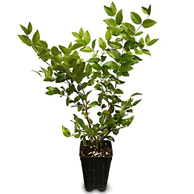 Tiyuki Jaboticaba - Myrciaria cauliflora Live Plant Brazilian Grape Fruit Tree : Garden & Outdoor