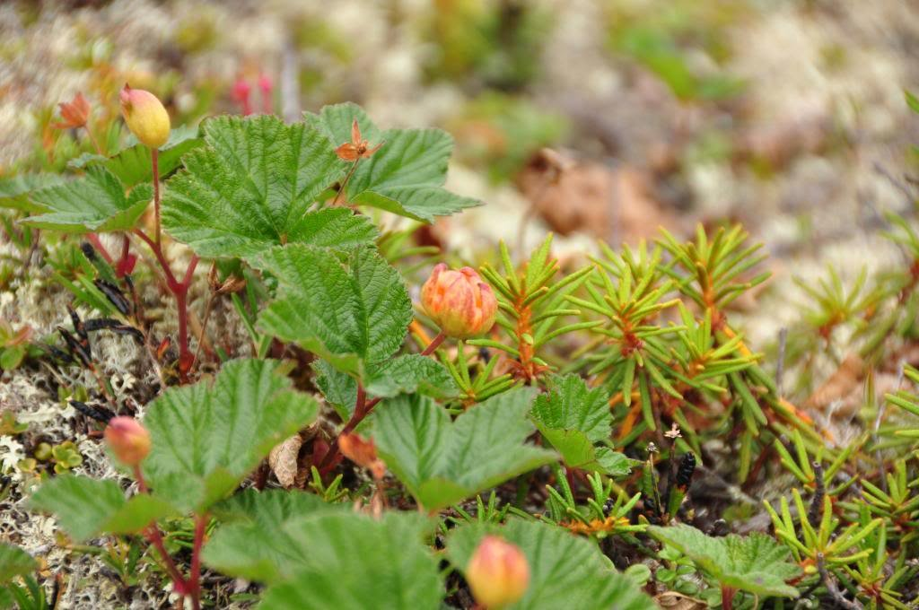 10 CLOUDBERRY Bake Apple Berry Rubus Chamaemorus Fruit Seeds *Combined Shipping Seedville