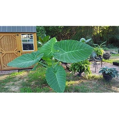 3 Live Bulbs Leucocasia Gigantea Laos Giant Thai Giant Elephant Ear Huge Leaf : Garden & Outdoor