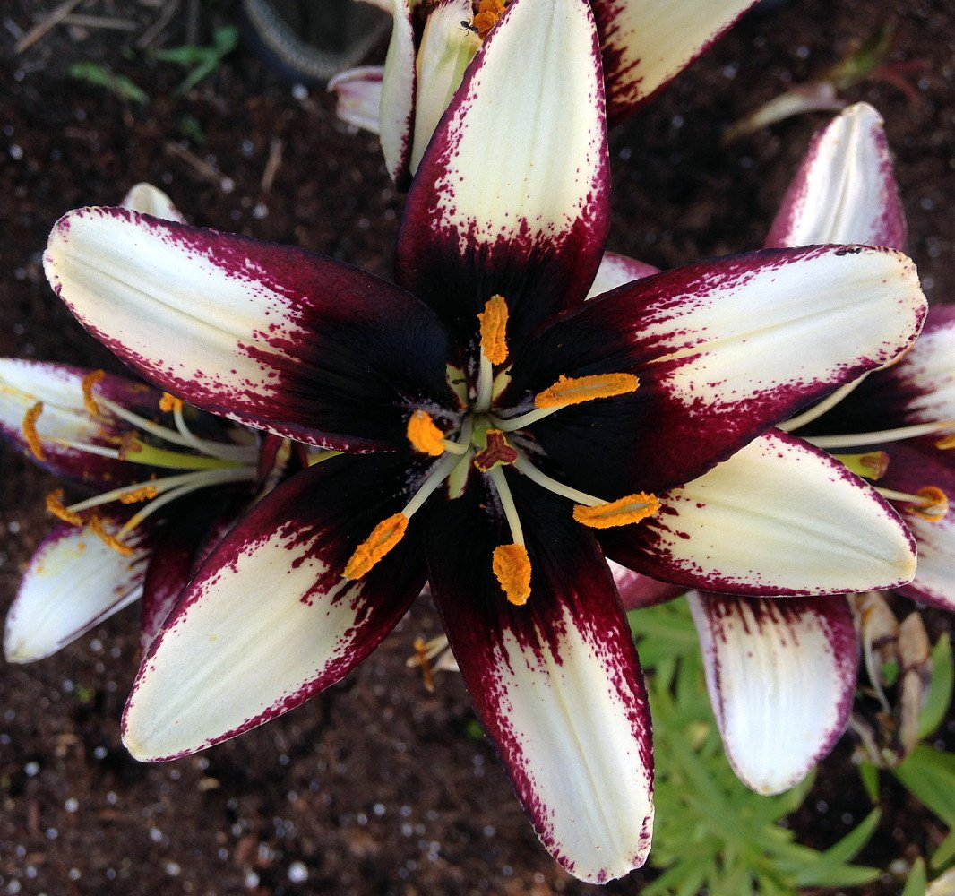 Black eye asiatic lily 2 bulbs 1416cm spotted white with black be the first of your gardening friends to have this new variety of asiatic lily black eye lily features deep purplemaroon almost black centers izmirmasajfo