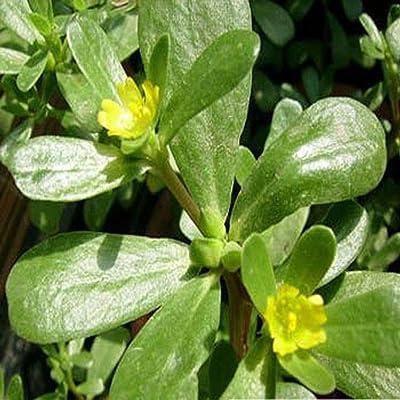 Purslane- Portulaca Oleracea Sativa- 200 Seeds : Garden & Outdoor